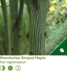 Manchurian Striped Maple